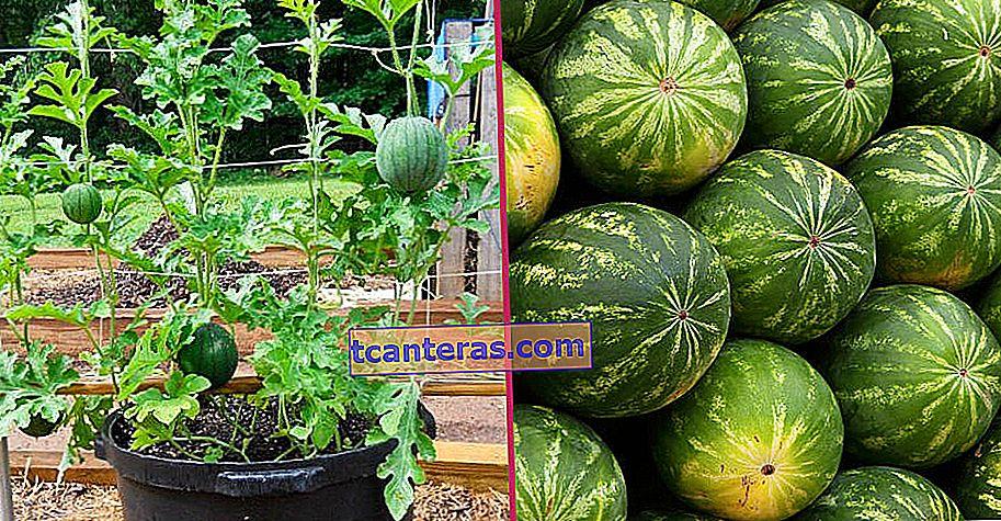 Sucede en casa: ¿Cómo cultivar sandía?