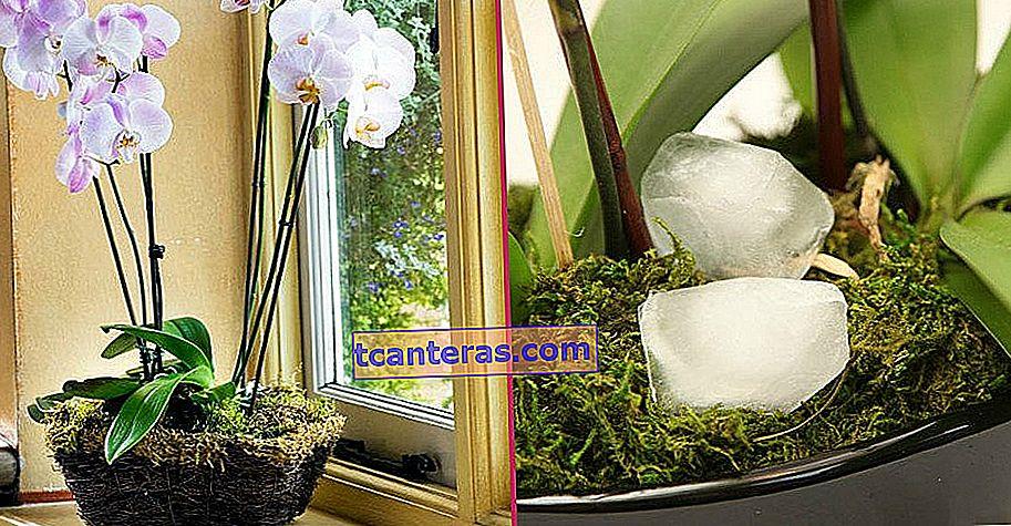 No doble el cuello: el cuidado de las orquídeas desde el riego hasta el cambio de macetas