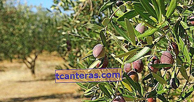 El árbol no muerto que hace crecer la vida en sus raíces: lo que necesita saber sobre los olivos