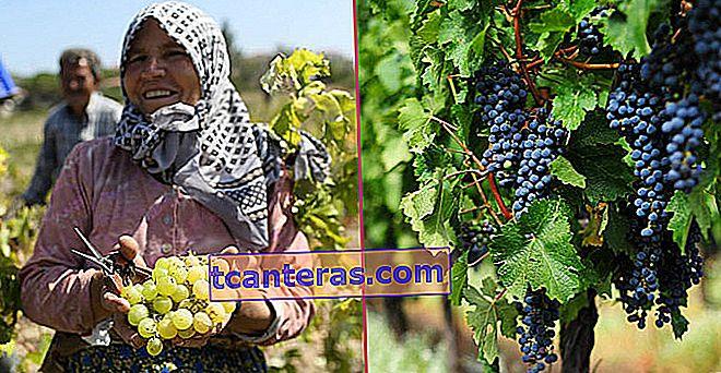 La razón del otoño, cuando llega la uva: vendimia