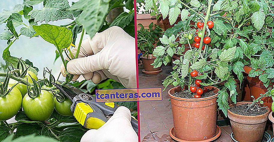 Ті, хто вирощує томати вдома тут: Що слід враховувати при обрізанні помідорів