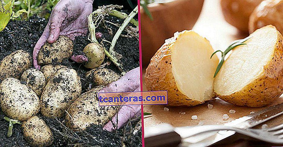 Patatas: cultivo paso a paso en casa con beneficios interesantes para todos: