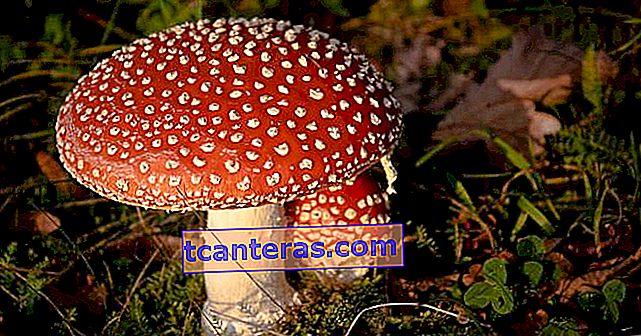 ¿Qué es la intoxicación por hongos? ¿Cuáles son los síntomas de la intoxicación por hongos?