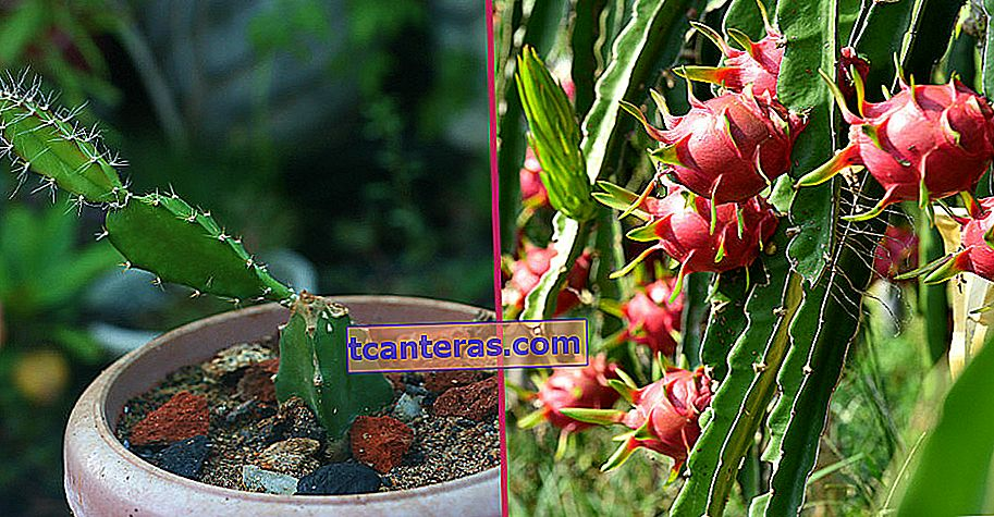 El miembro más elegante de cactus: ¿cómo se cultiva la fruta del dragón (planta de pitaya)?