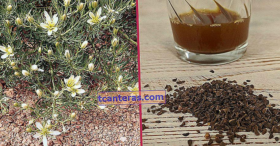Desde problemas intestinales hasta dolores de cabeza, remedios para muchos problemas: semilla de Peganum Harma