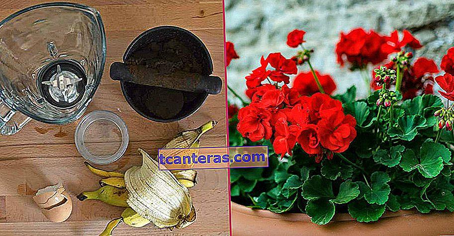 Не пропустіть барвисті квіти з дому: як оживити в'янучу герань?