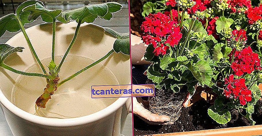 Mantenga las flores exuberantes: cuidado del geranio paso a paso, desde la plantación hasta la reproducción
