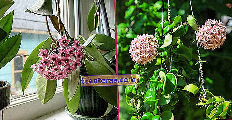 Del cultivo en casa al cuidado Consejos para mantenerla despierta: Flor de cera (Hoya Carnosa)