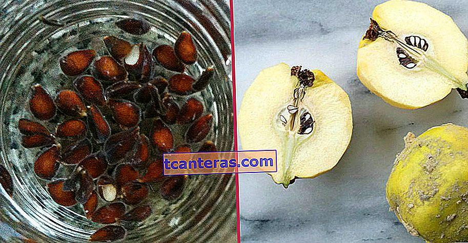 Evite la tos, las quemaduras y las manchas de acné, solución a muchos problemas: semilla de membrillo