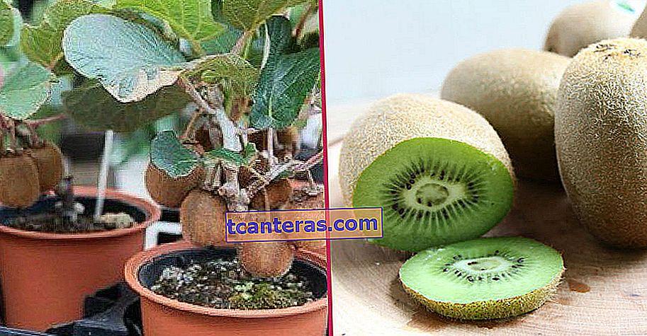 Unos pocos ingredientes y un poco de paciencia son suficientes: ¿cómo cultivar kiwi?