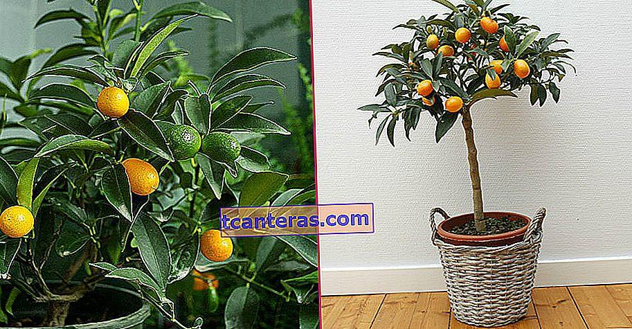 Convierta una esquina de su hogar en un jardín de invierno: ¿Cómo cultivar kumquats?