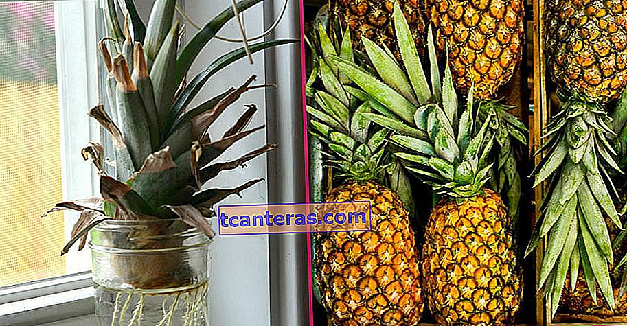 Una fruta tropical con sus beneficios que puedes cultivar muy fácilmente en casa: piña