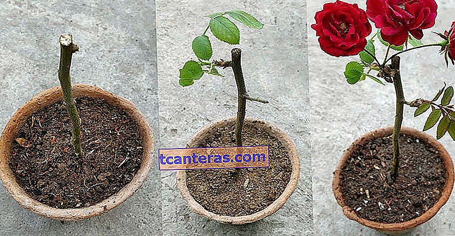 Cómo cultivar en una maceta paso a paso para cuidar: ¿Cómo cultivar una rosa en casa?