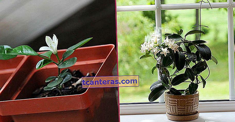 Encantando tu hogar con su encantadora fragancia: Cuidado de la flor de jazmín desde el riego hasta la reproducción