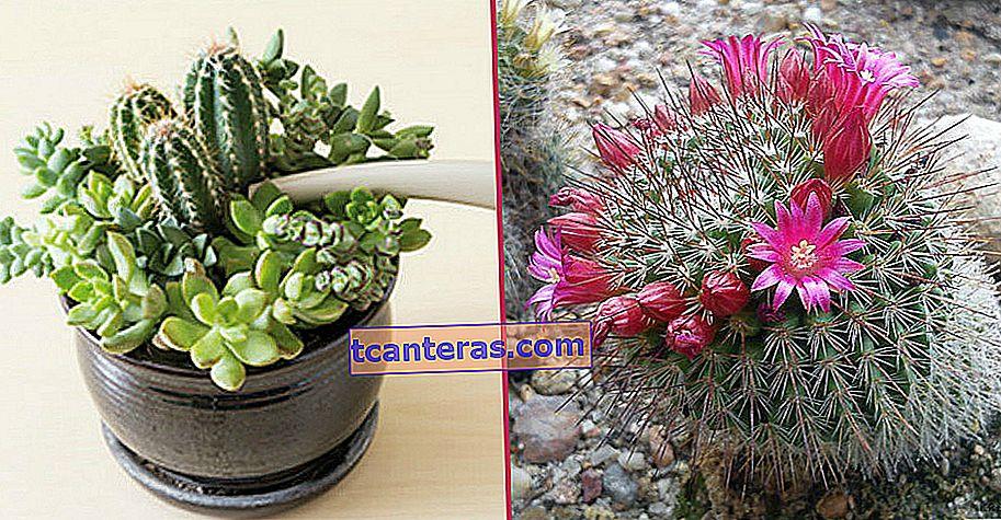 Не гнийте, нехай цвіте: догляд за кактусом від поливу до мінників