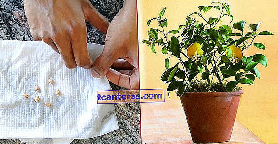 Це так просто: вирощування лимона з насіння лимона кількома простими кроками