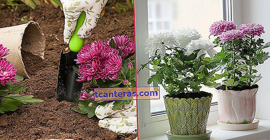 Una belleza otoñal del cultivo casero al cuidado: crisantemo (crisantemo)