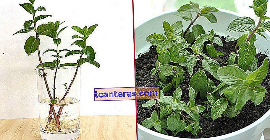 ¿Cómo cultivar menta en maceta fácilmente en solo 4 pasos simples?